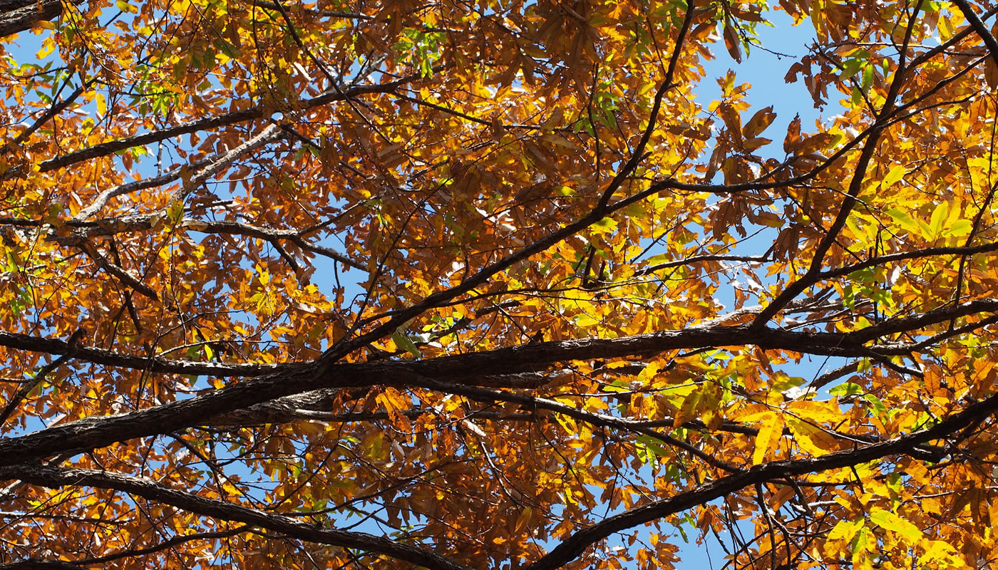 branches of the invasive sawtooth oak, with orange and yellow leaves in the fall