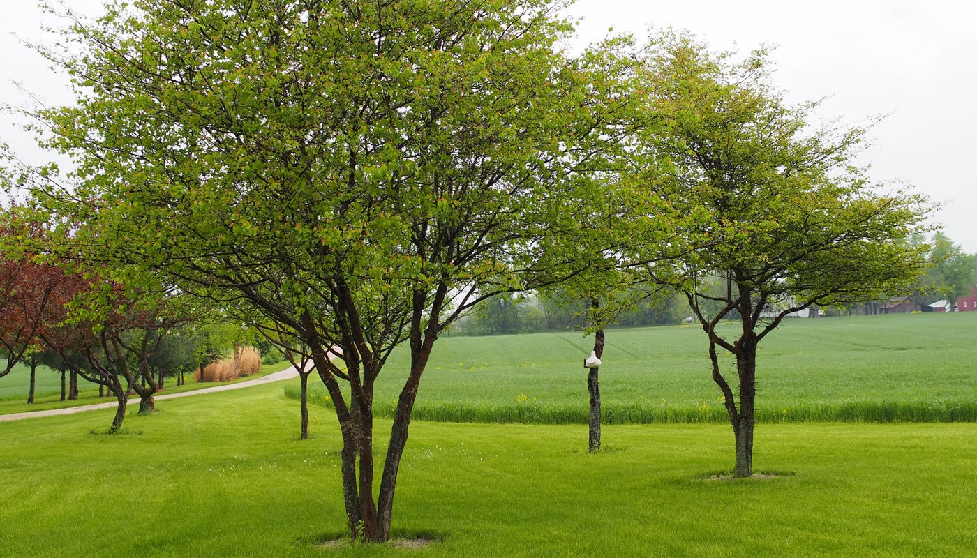 several invasive Washington hawthorn trees in front of a field